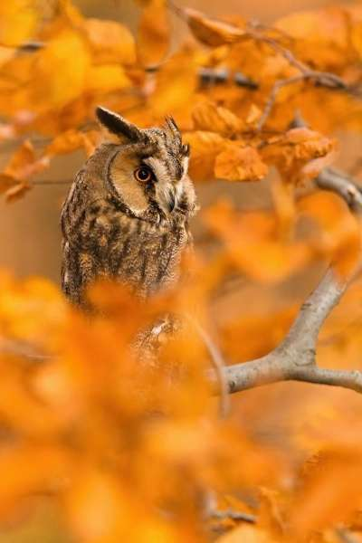 フクロウ画像