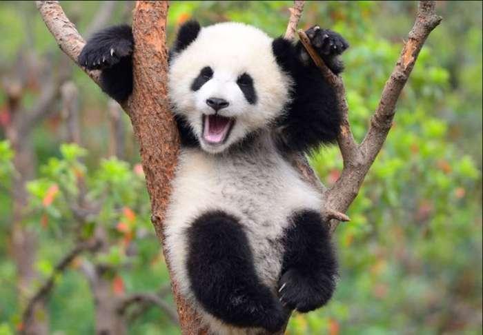 パンダの画像 p1_40