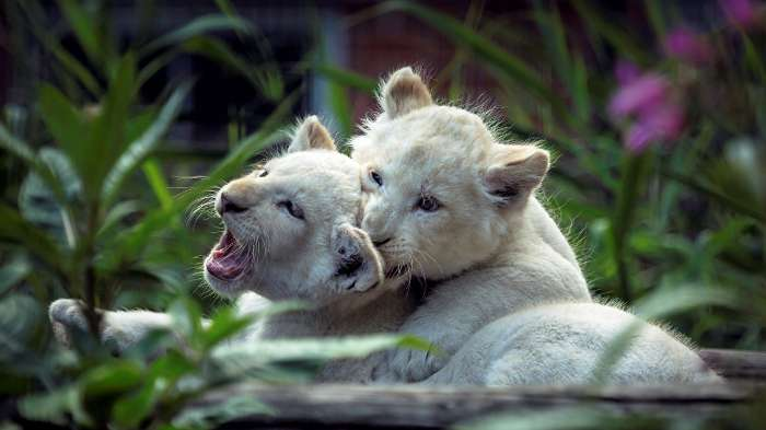 ライオンの画像